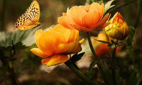 close-up-butterfly-flower-buds-87452